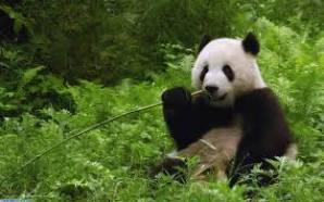 panda*-*♥