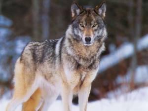 Wolf 123
