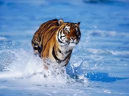 Tigar u vodi