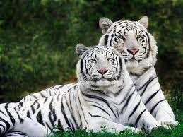 Bijeli tigrovi