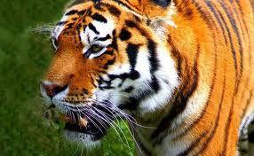 dobar tigar