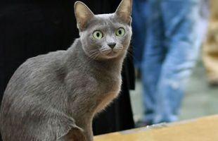 Korat (mačka)