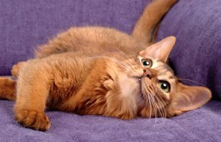 Somalijska mačka