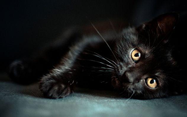 Pantera (crna mačka)
