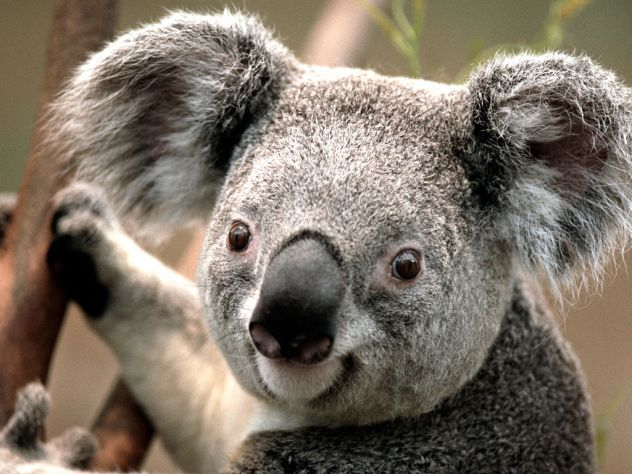 slatka mala koala