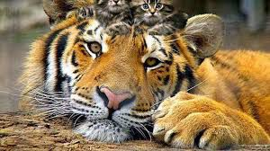 Tiger is the babysiter