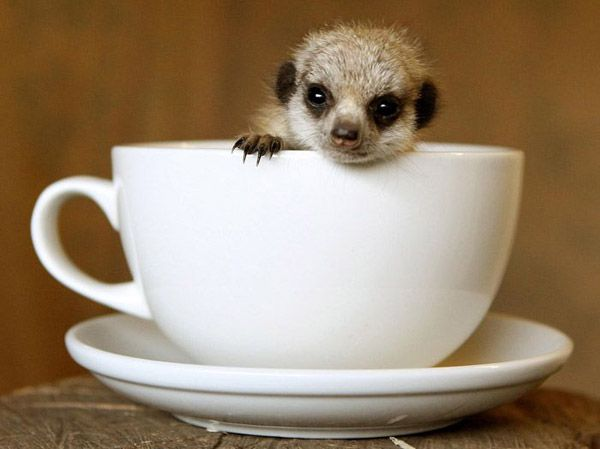Meercat in the cup